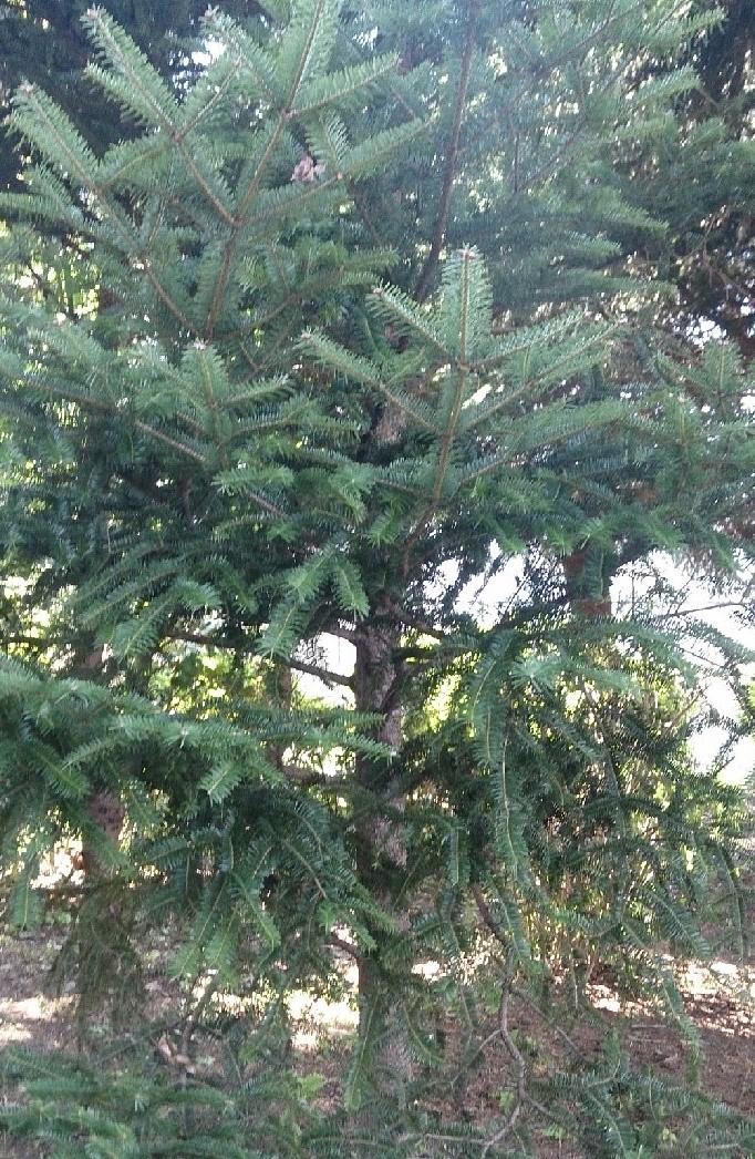 ▲モミの木