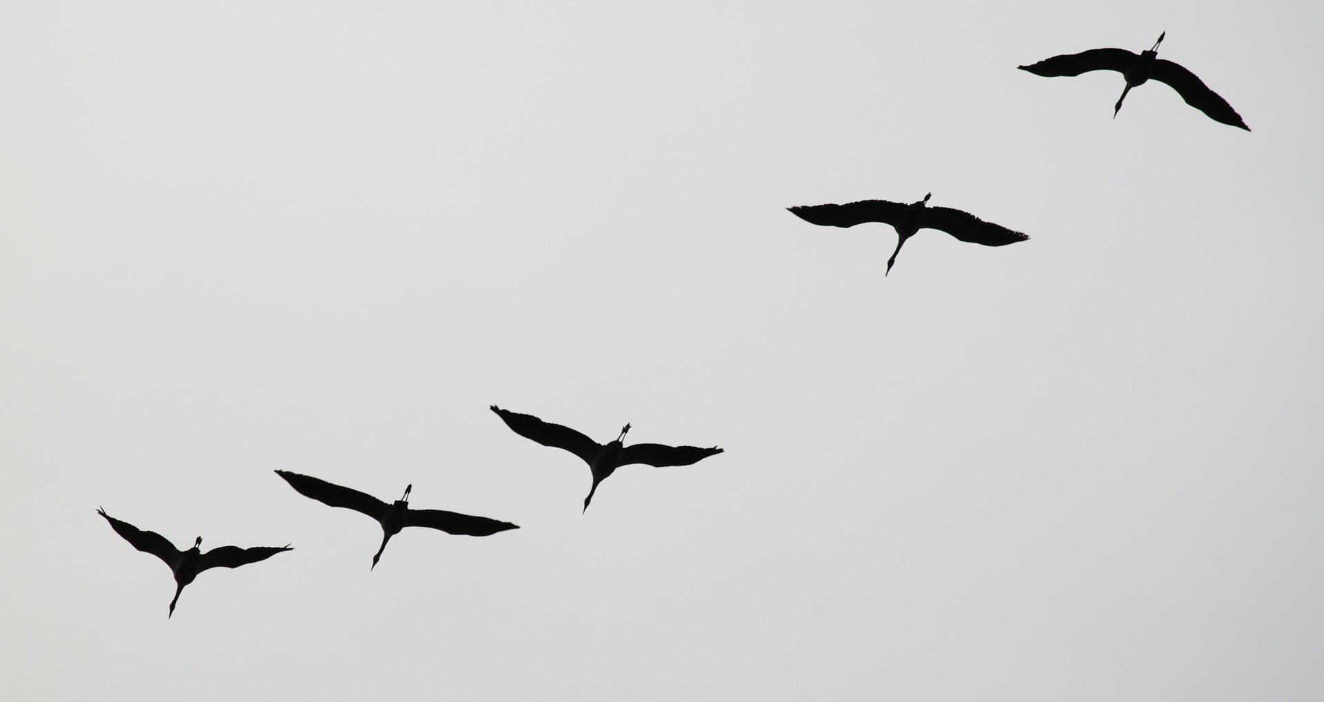 cranes-534922_1920