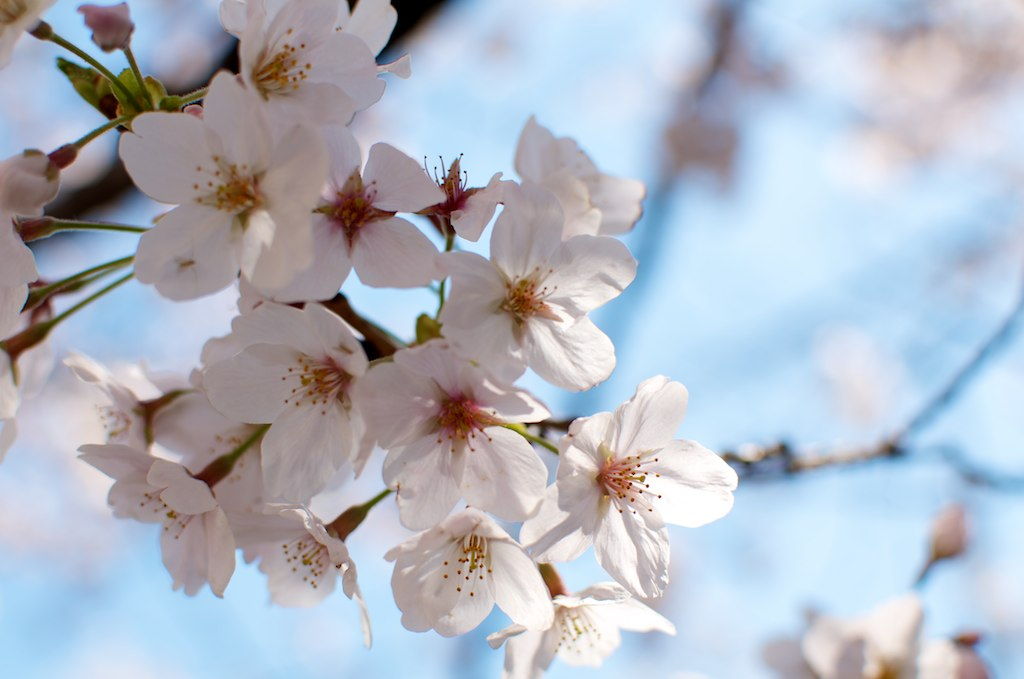 """""""sakura"""""""" by houroumono is licensed under CC BY 2.0"""